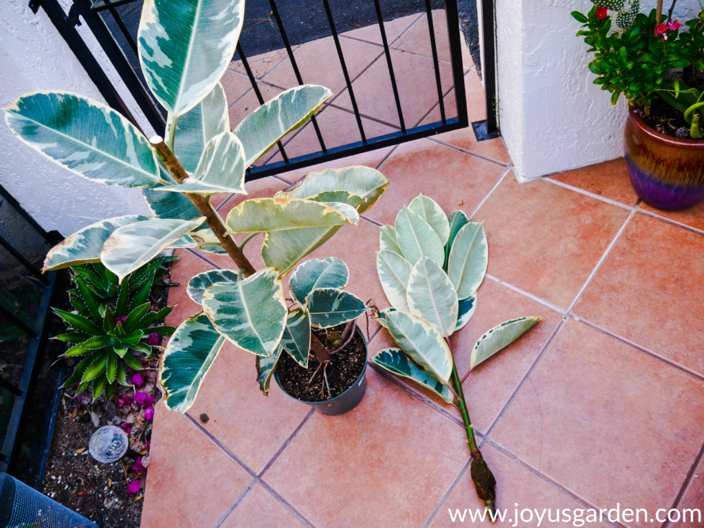 variegated rubber plant rubber tree which has been air layered & cut off lays next to the mother plant