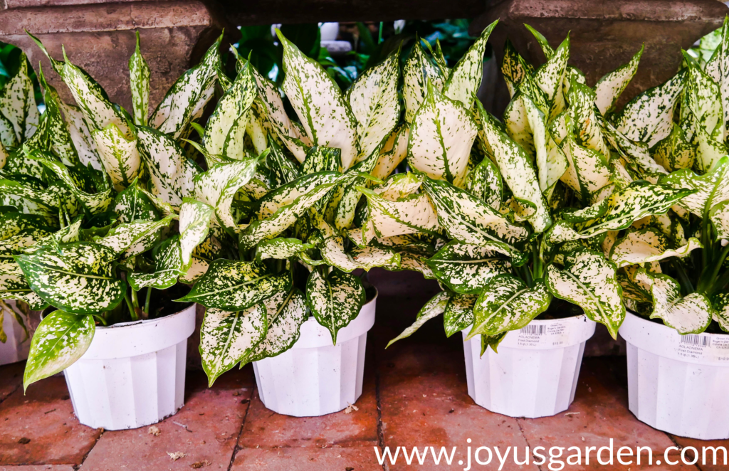 4 aglaonema first diamonds in white grow pots sit on the floor in a row