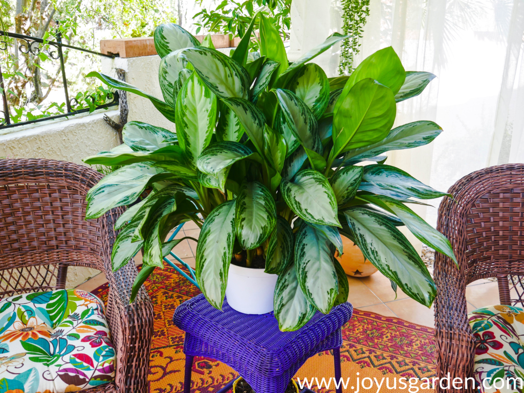 a large aglaonema silver bay sits on a table in between a wicker patio chairs