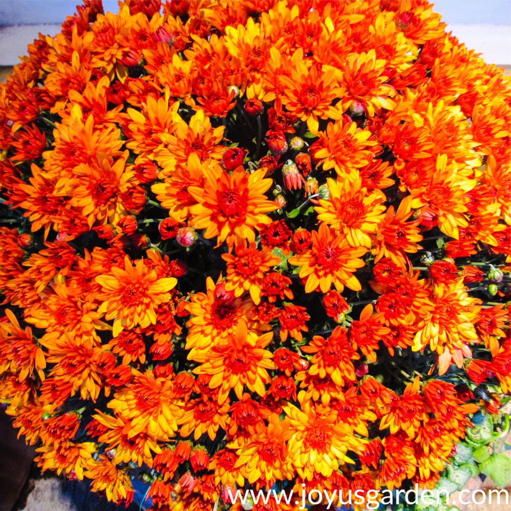 a vibrant orange chrysanthemum for festive fall decor