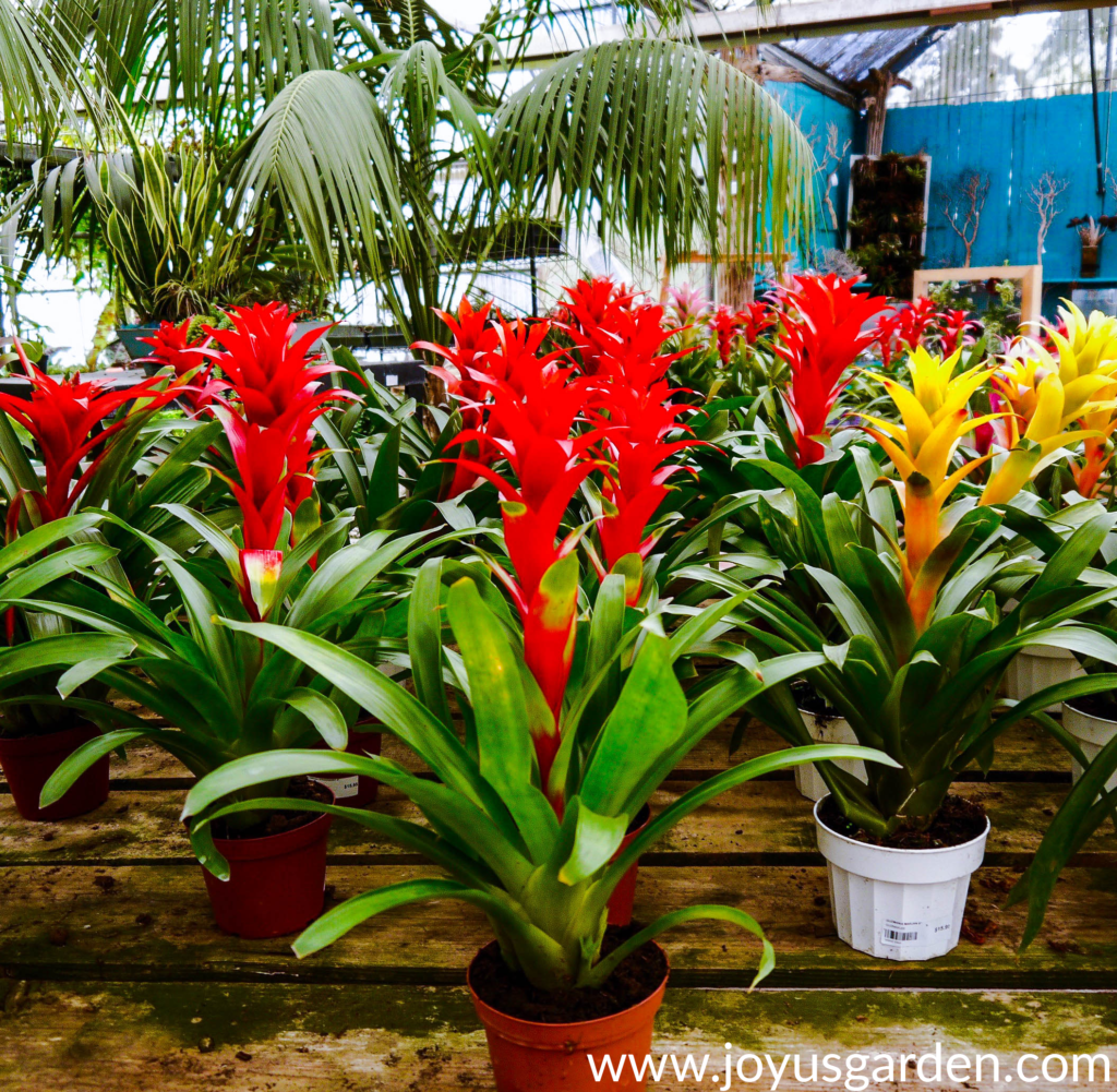 red & yellow guzmania bromeliads on a pallet bench in a nursery
