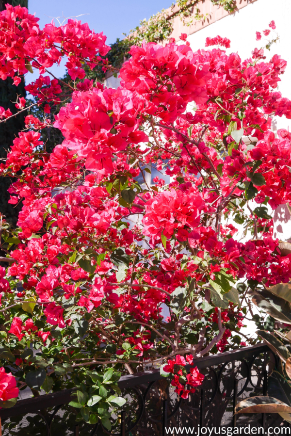 vibrant r/pink bougainvillea barbara karst in full bloom against a white building