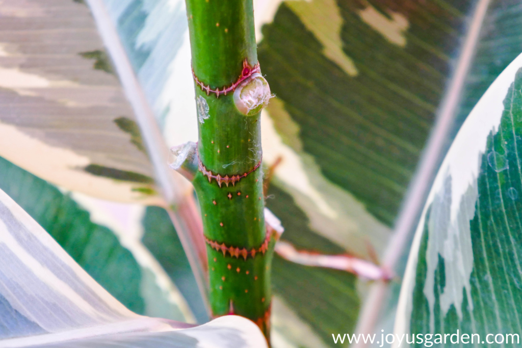 close up of 3 leaves removed from a variegated Rubber Plant rubber tree
