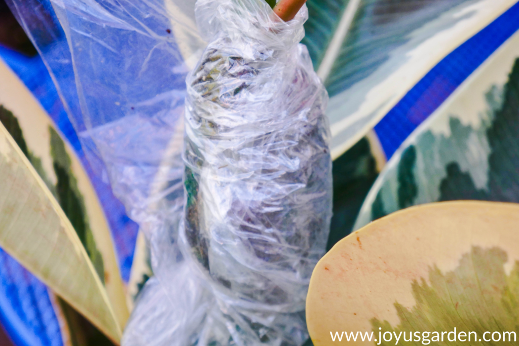 close up of an air layering ball wrapped in plastic on a houseplant