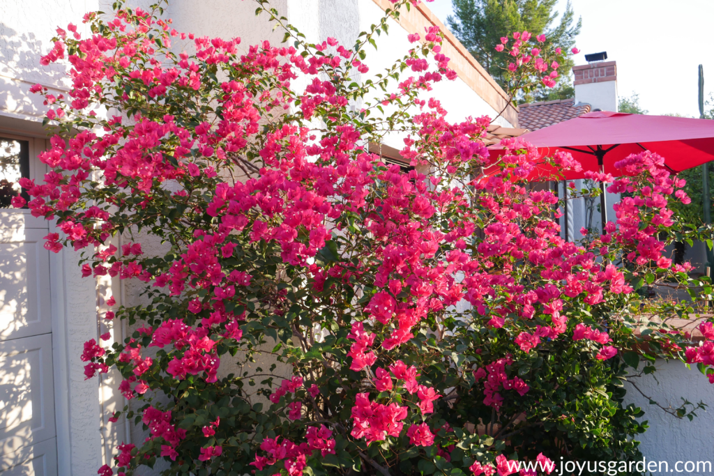 vibrant red/pink bougainvillea barbara karst in full bloom against a white building with a red patio umbrella behind.
