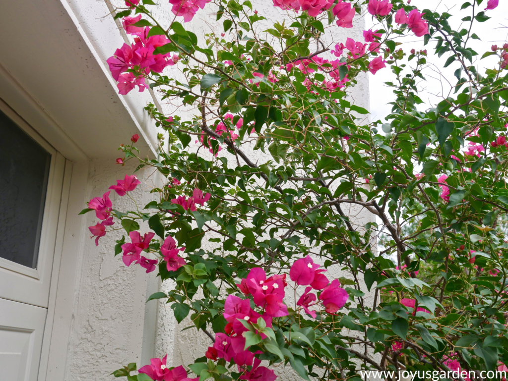 close up of bougainvillea barbara karst with red/pink flowers before pruning