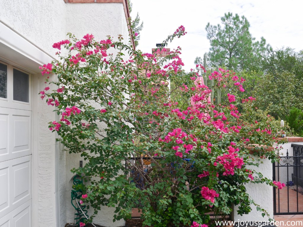 a bougainvillea with red/pink flowers is growing next to a white house