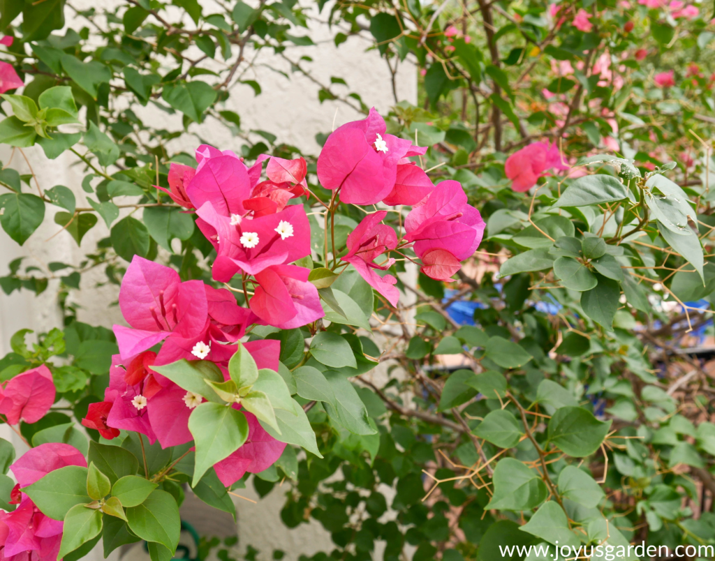close up of pink/red bougainvillea barbara karst flowers