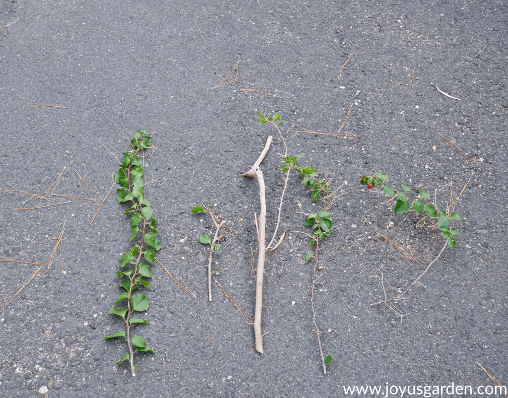 bougainvillea stems & branches which have been pruned out lay on an asphalt driveway