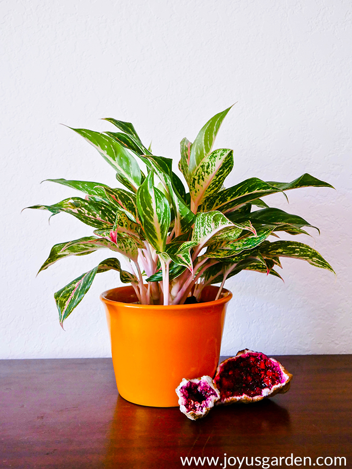 Chinese-Evergreen-Care