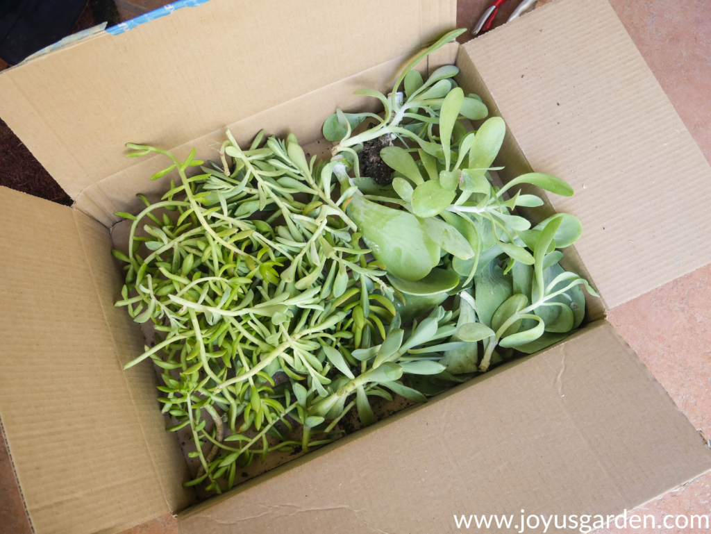 a box full of succulent cuttings