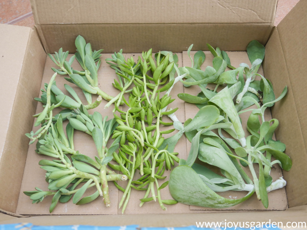3 different types of succulent cuttings lined up in a box