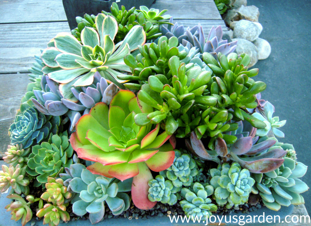 close of of a beautiful mixed succulent planting