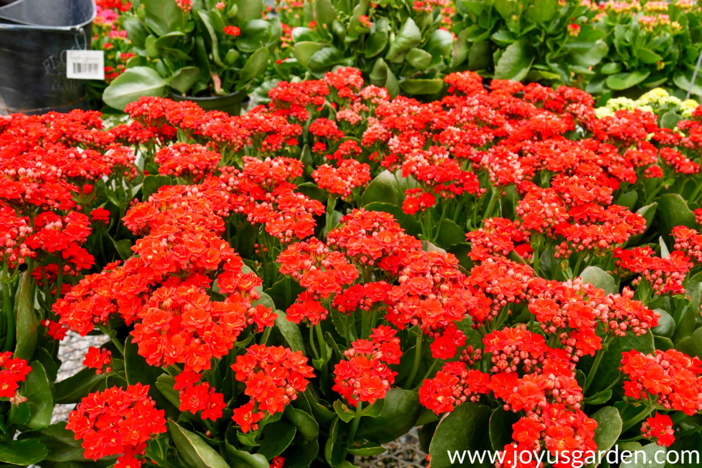 many red kalanchoes for festive fall decor
