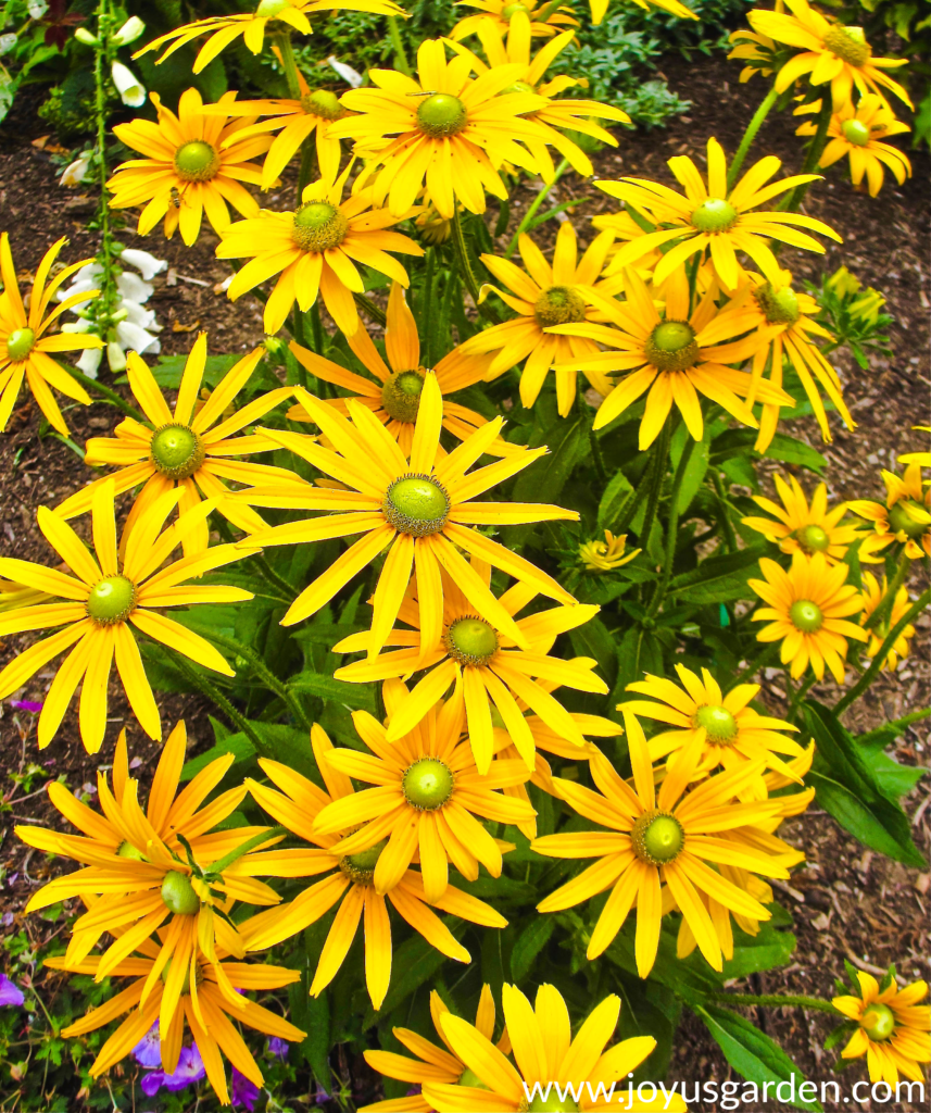 rudbeckia irish eyes bright yellow daisy-like flowers with green centers for festive fall decor