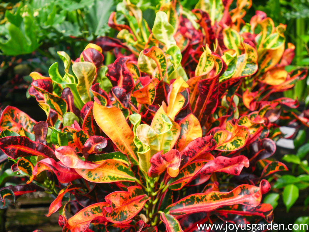 close up of a colorful red orange green & yellow croton mammy