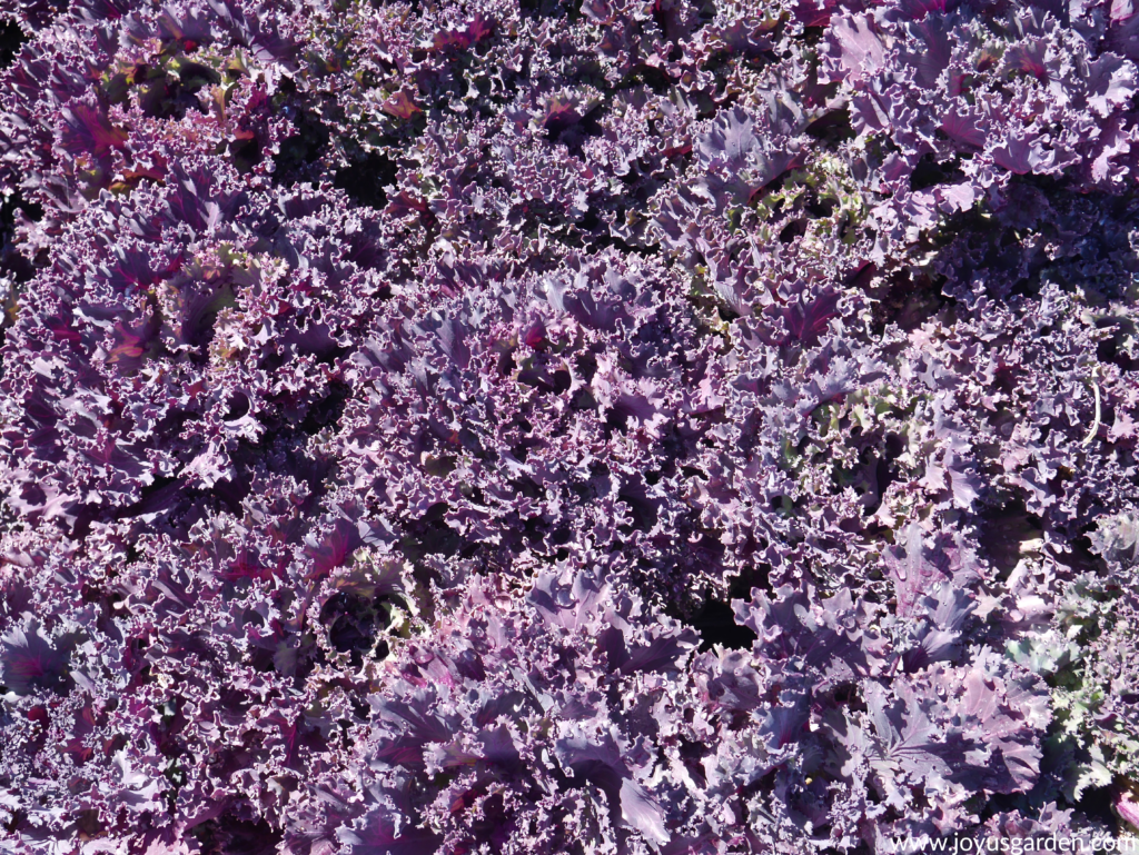many purple ornamental kales in the bright sun for festive fall decor