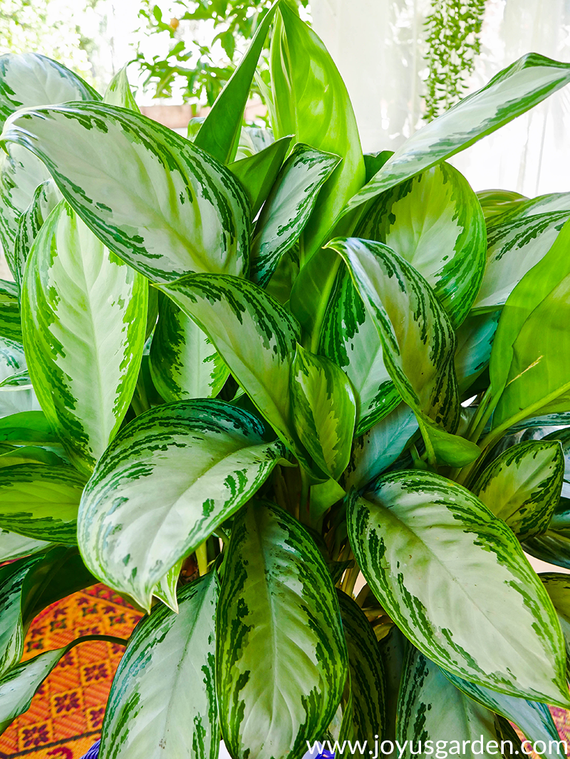 close up of the large, patterned leaves of an Aglaonema Silver Bay