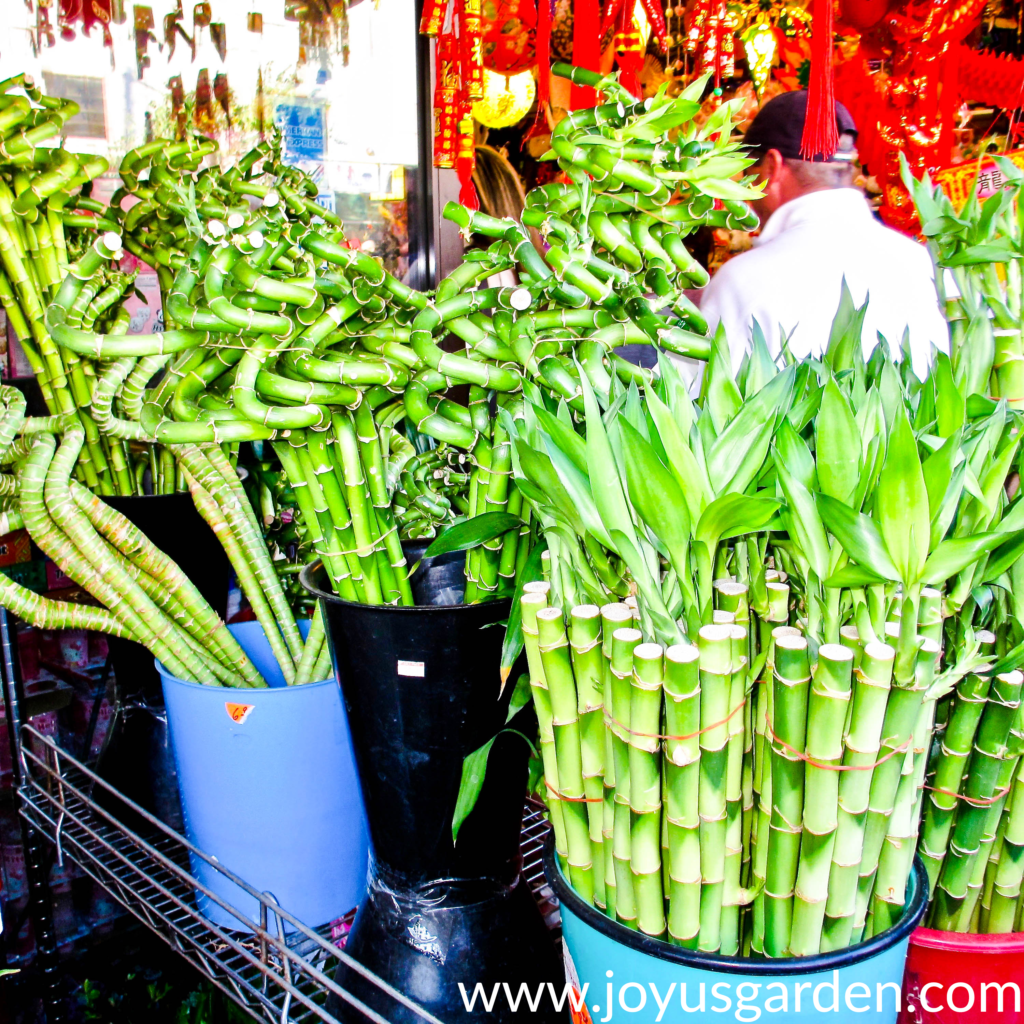 different shapes & sizes of lucky bamboo stalks in bucket5s in LAs Chinatown