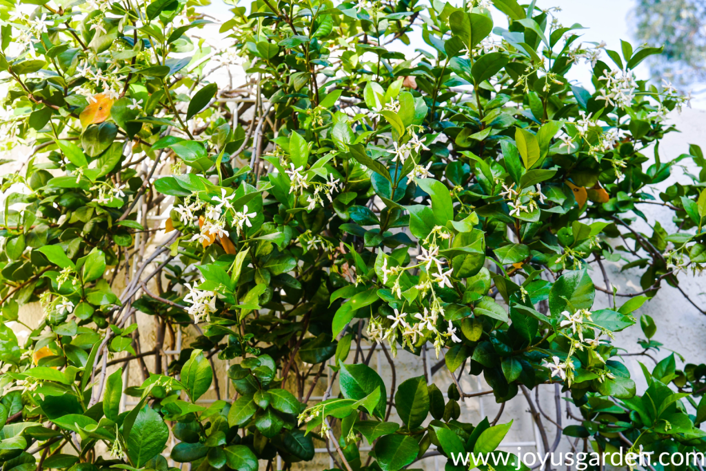 close up of star jasmine confederate jasmine vine in bloom with white flowers against a white wall