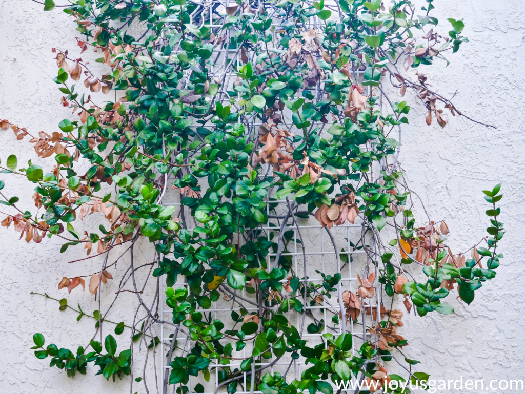 star jasmine confederate jasmine vine with many brown dead leaves due to sun burn & heat stress