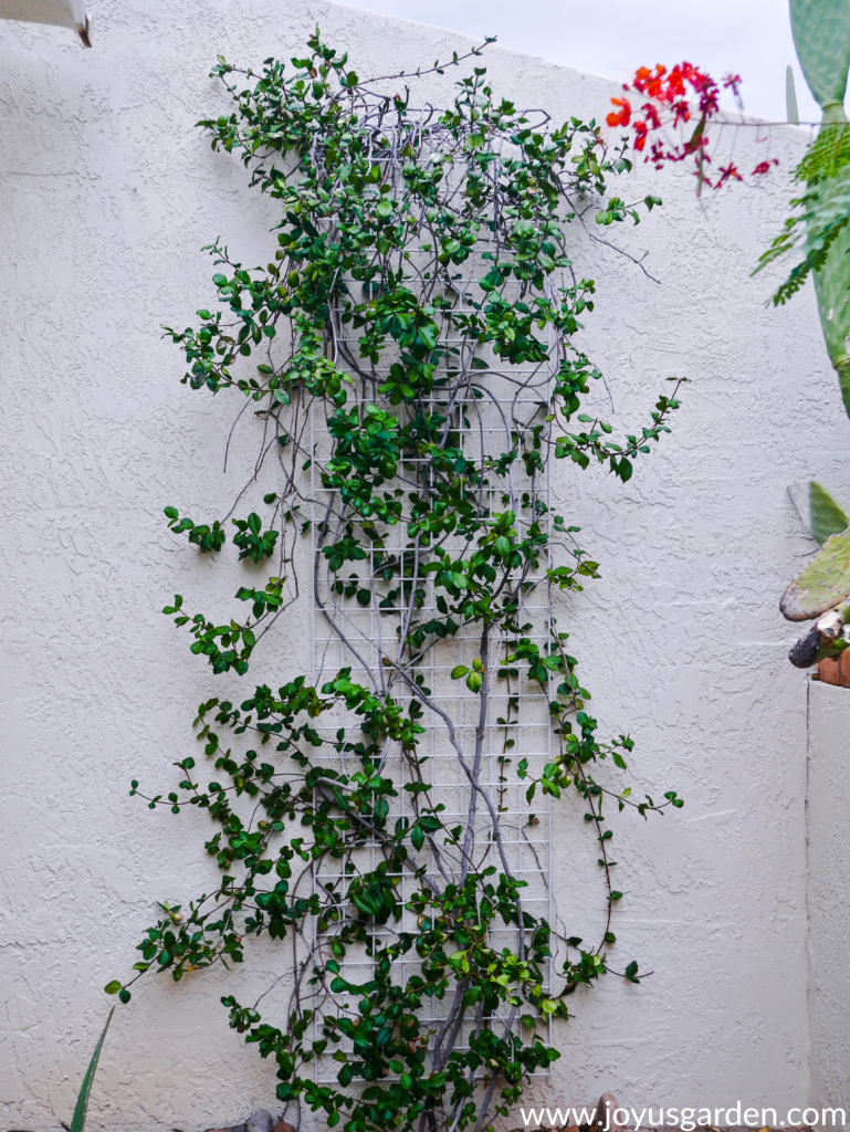 a thin star jasmine confederate jasmine vine after pruning growing up a white trellis against a white wall