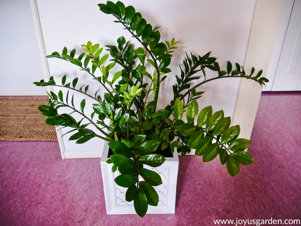large zz plant with glossy green leaves in a square white decorative pot