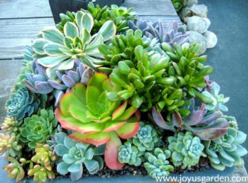 a beautiful mixed succulent planting