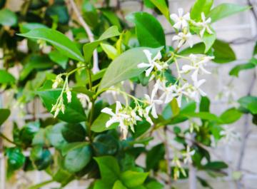 close up of star jasmine confederate jasmine vine in bloom