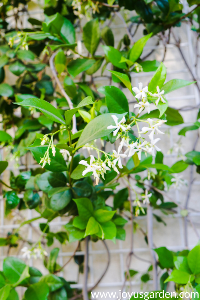 close up of star jasmine confederate jasmine vine in bloom