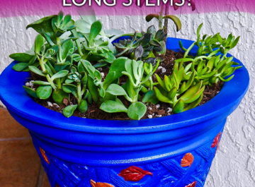 succulent-plants-growing-long-stems