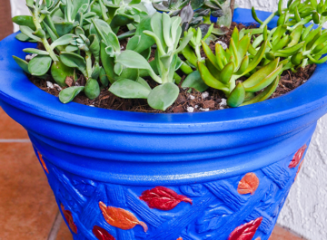 close up of various succulent cuttings in a bright blue pot
