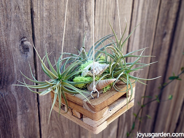 a small hanging wood orchid basket holds small air plants & shells