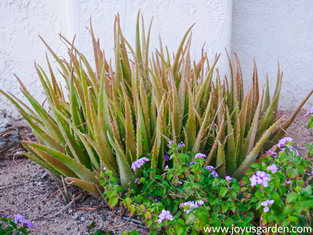 a clump of aloe vera with tinges of orange/brown growing in the ground next to lavender lantana