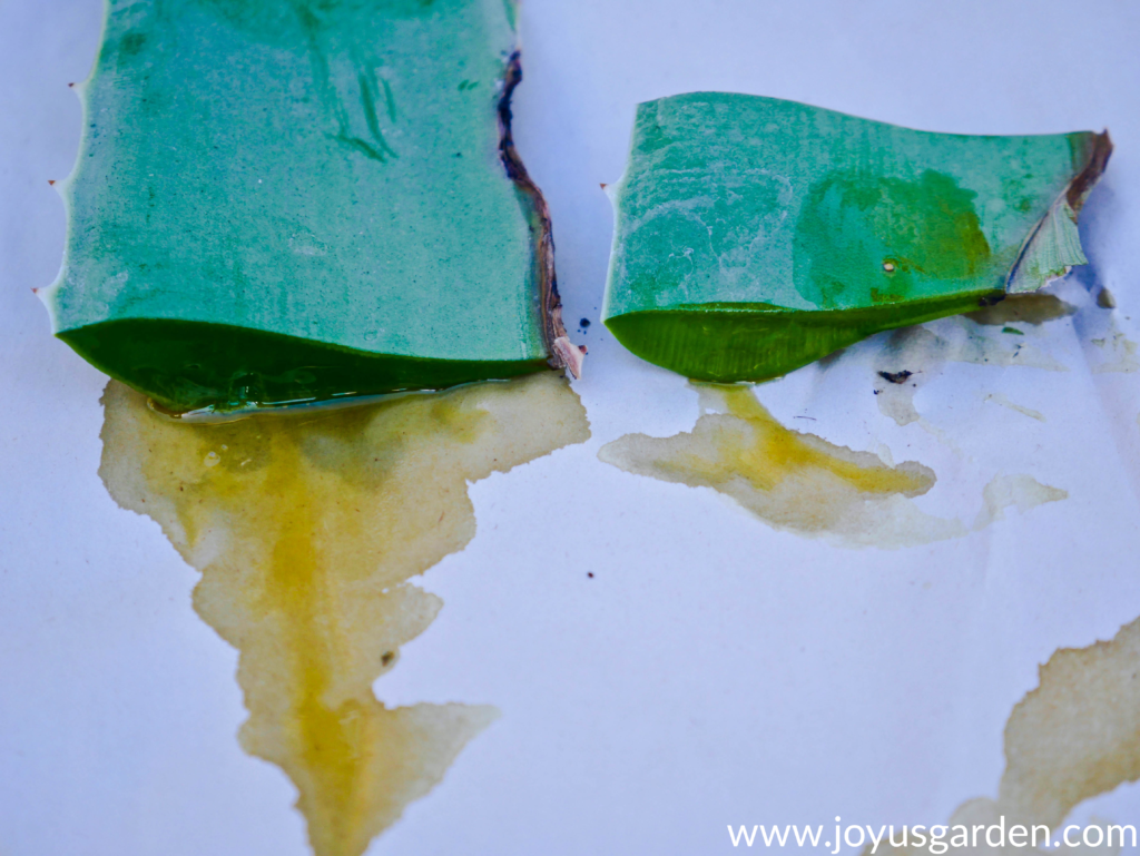 2 cut aloe vera leaves with yellow latex oozing out of them
