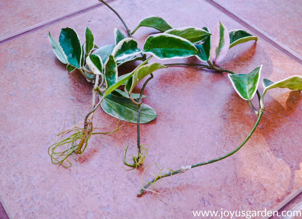 3 variegated hoya cuttings with roots sit on a tile floor