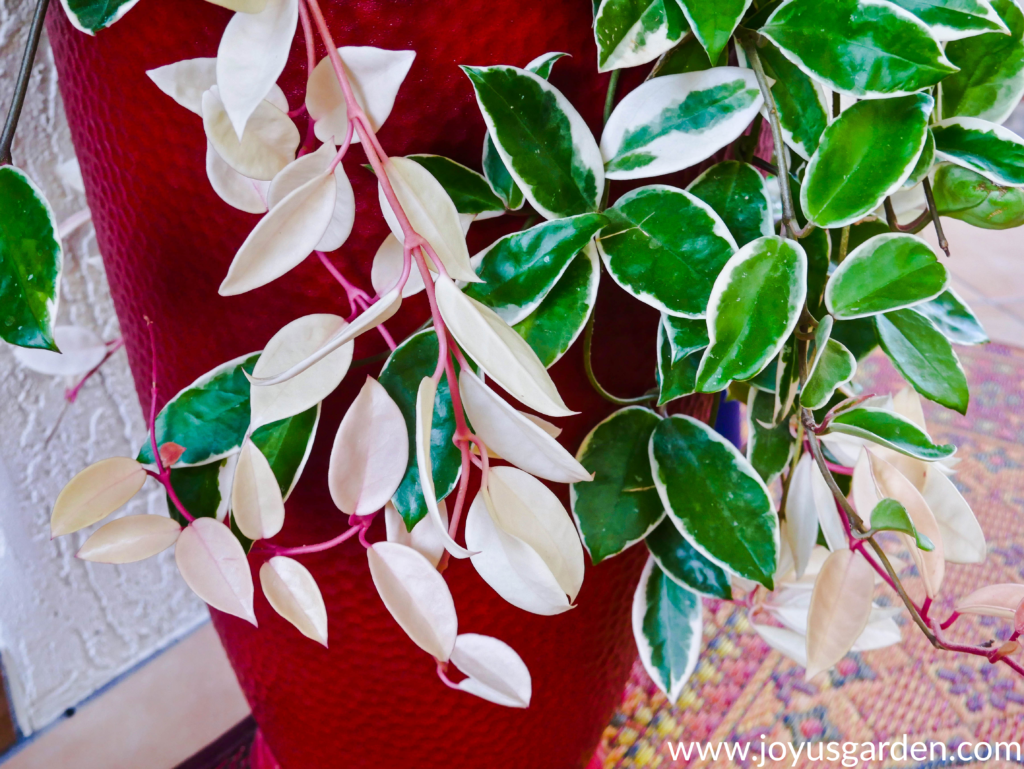 close up of variegated hoya foliage hanging over a tall red pot