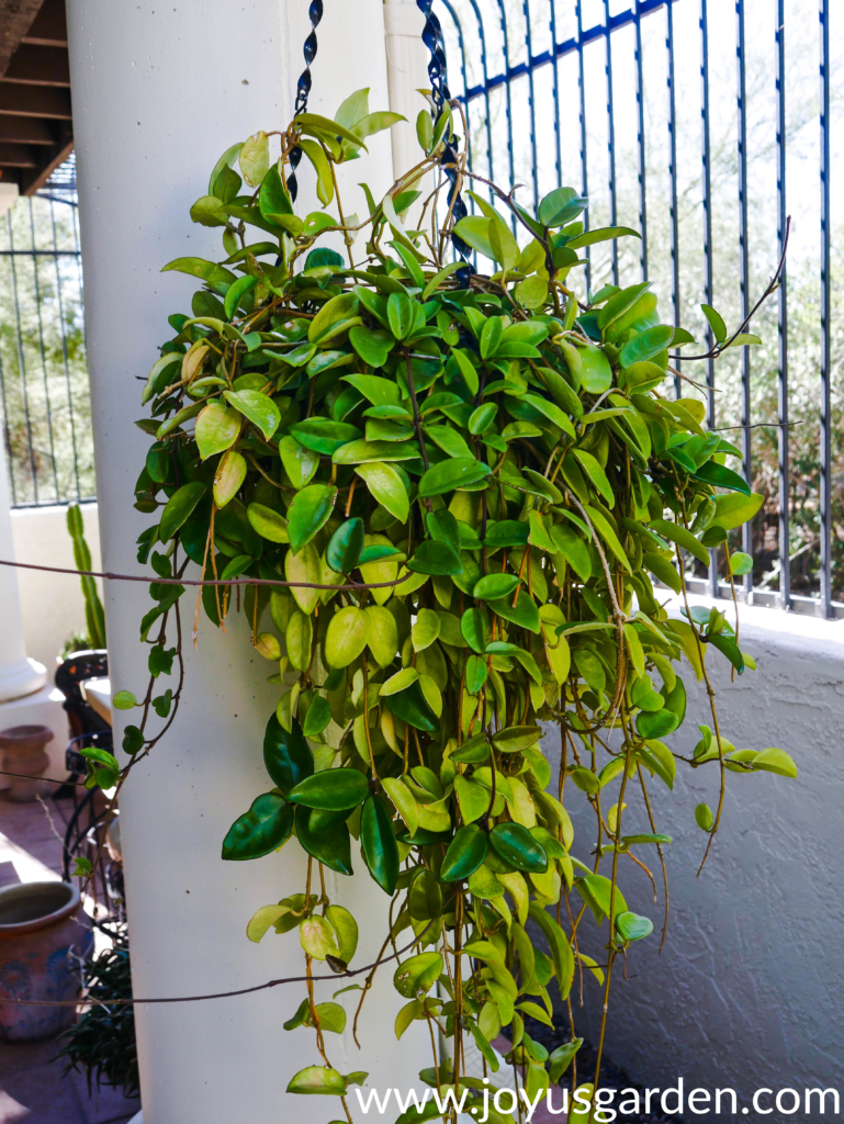 a large hanging hoya with some green leaves & some yellowish leaves