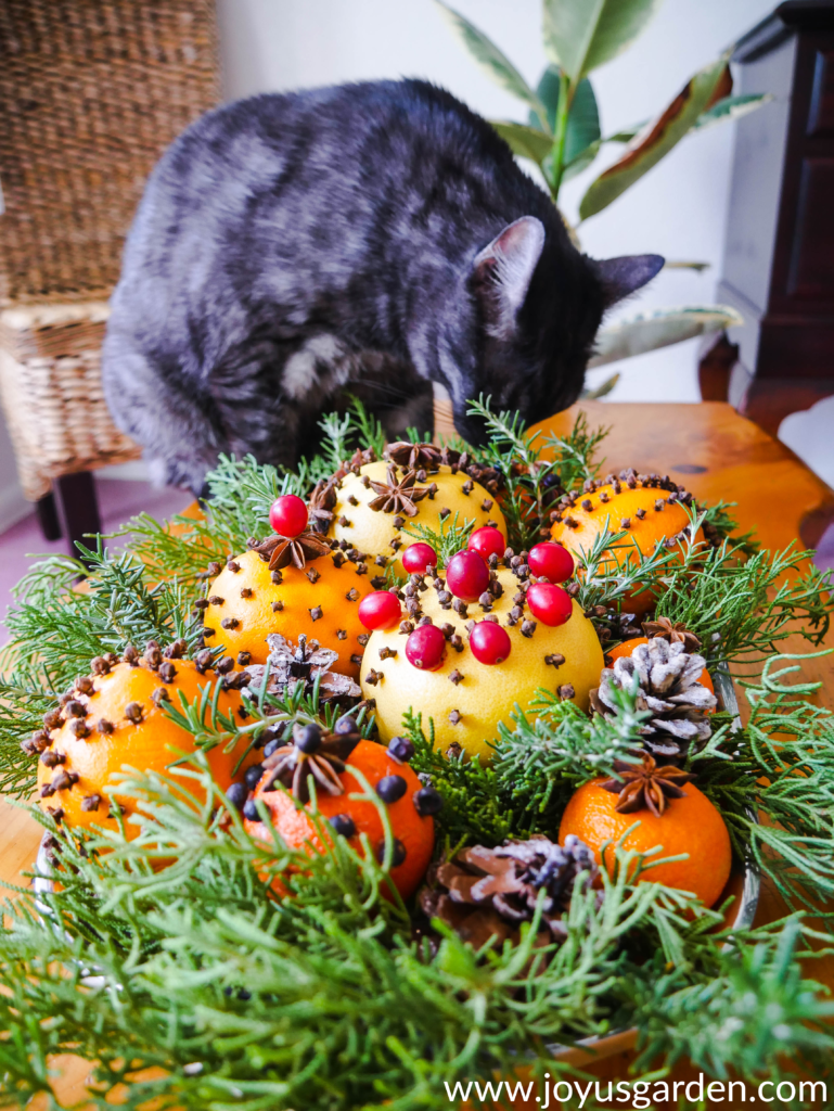 a grey tabby cat named Riley is sniffing a tray of citrus fruit adorned with spices evergreen branches pine cones and cranberries sits on a coffee table