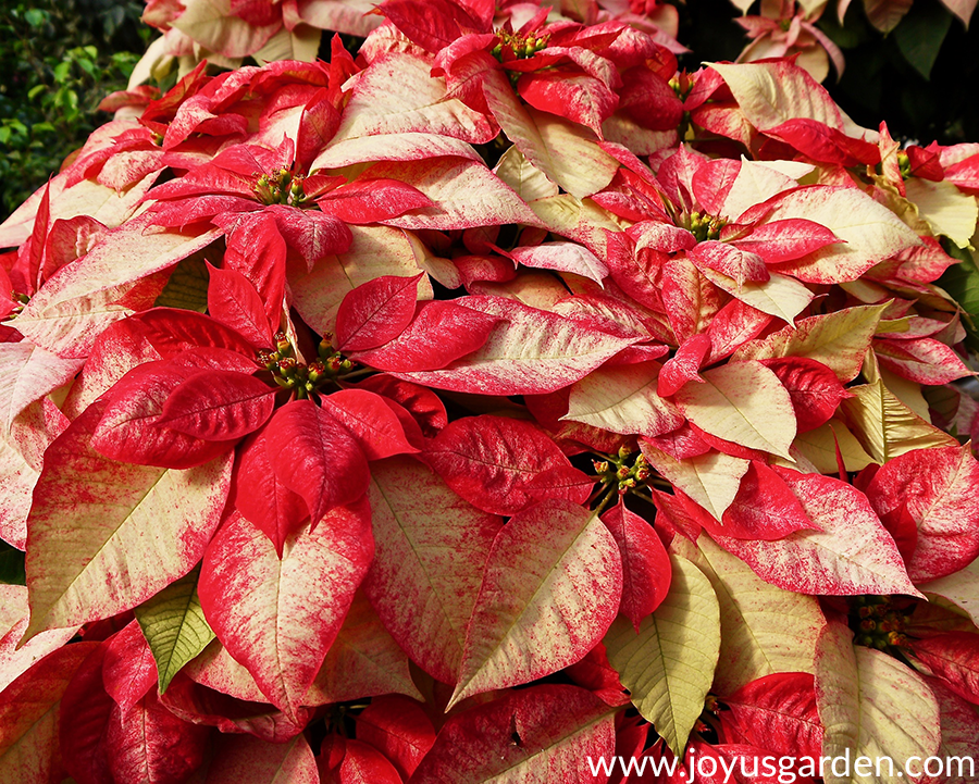 close up of a very large poinsettia variegated with red & cream