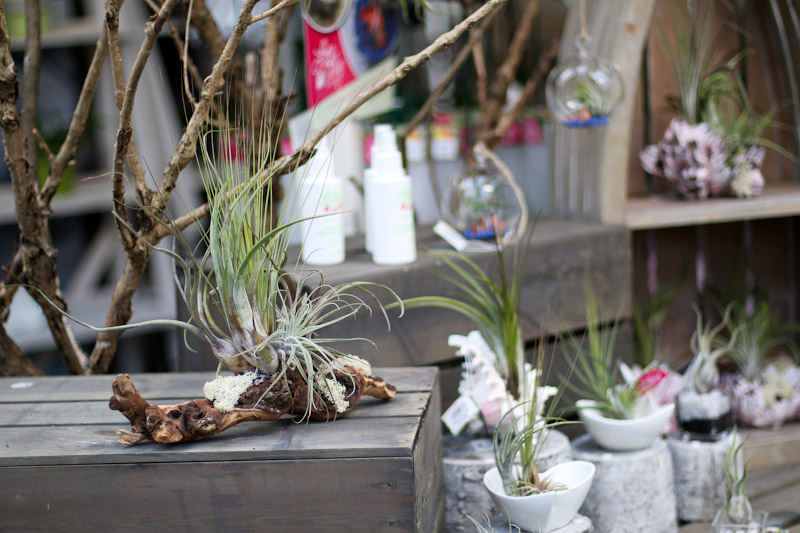 air plants in a shop on driftwood, in bowls & in shells