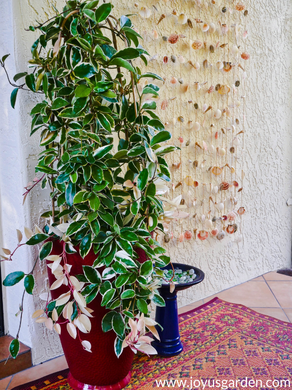 a variegated hoya topiary grows in a tall red pot next to a curtain of hanging seashells
