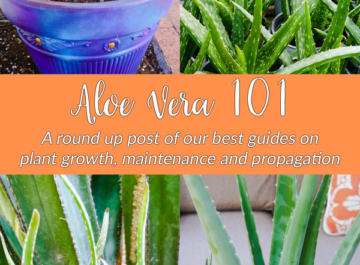 4 different pictures of aloe vera make up a collage the text reads aloe vera 101: a round up of our best guides on plant growth maintenance & propagation
