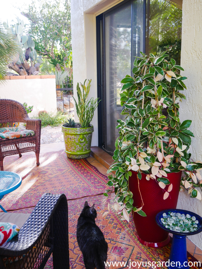 a variegated hoya & a mixed cactus pot grow on a patio with a small grey cat walking by