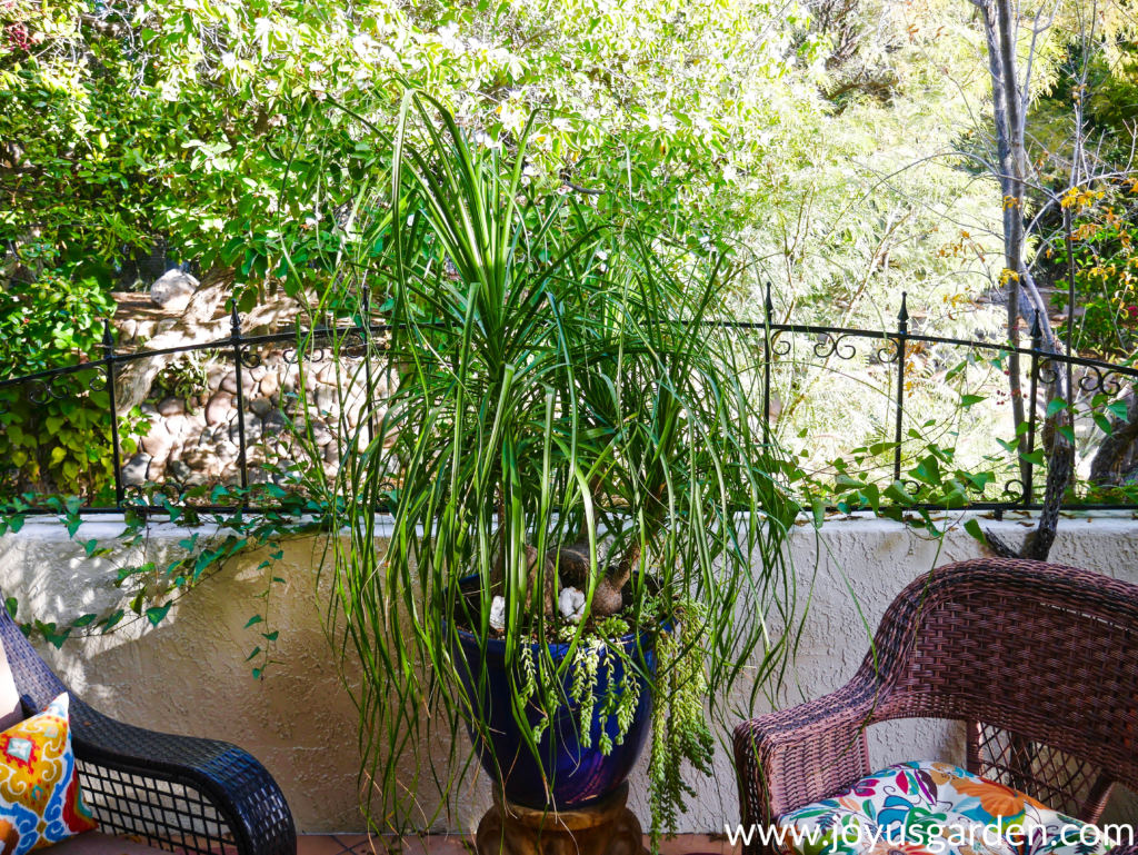 a large 3-headed ponytail palm grows in a large blue pot on a patio with greenery in the background