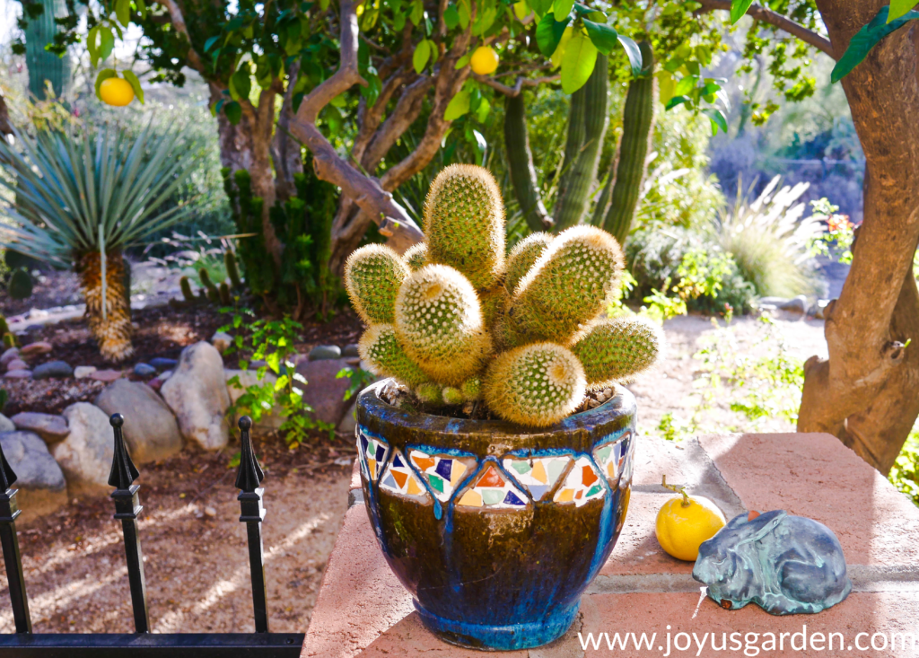close up of a small cactus growing in a pot with desert plants in the background