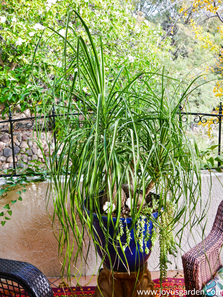 a large 3-headed ponytail palm in a large blue pot sits on a patio