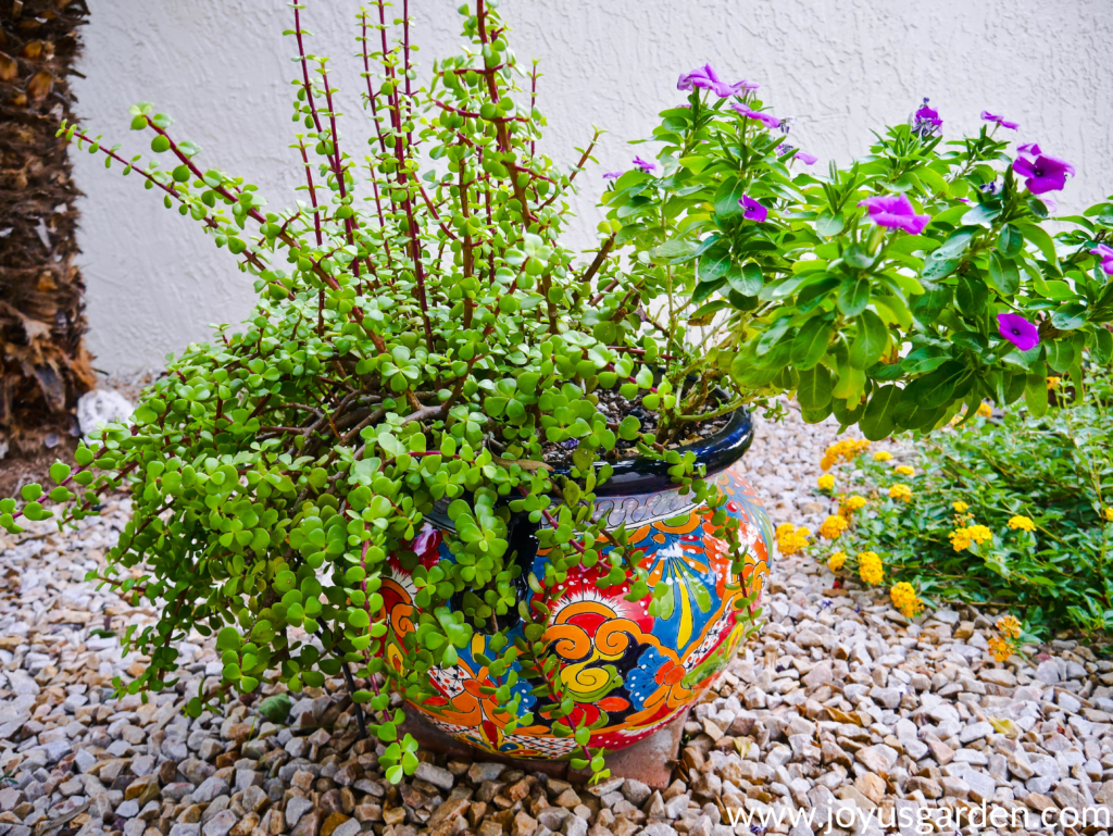 an elephant's food plant & violet annual vinca grow in a very colorful talavera pot