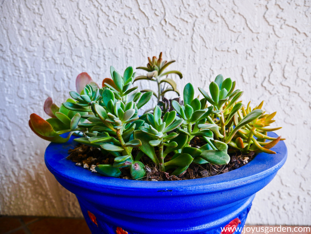 close up of small succulent plants in a bright blue pot