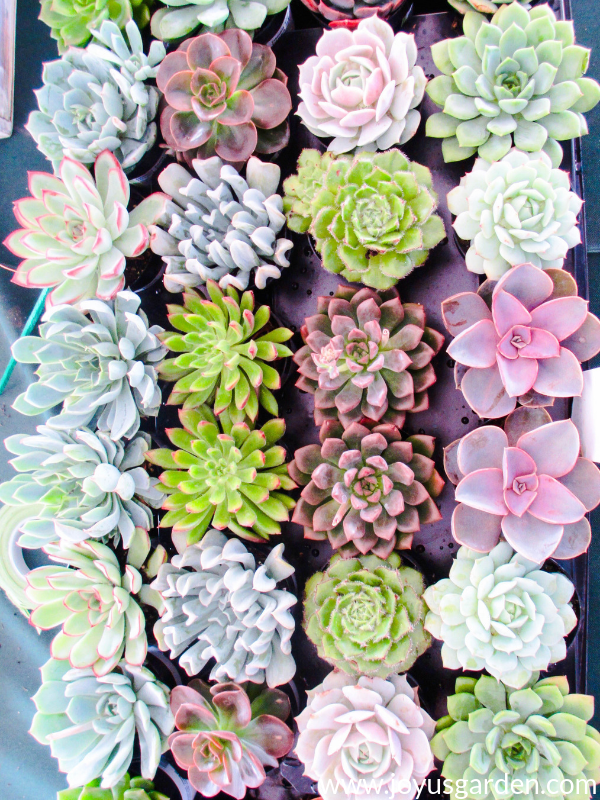 close up of a colorful tray of mixed succulents in manyl colors & textures